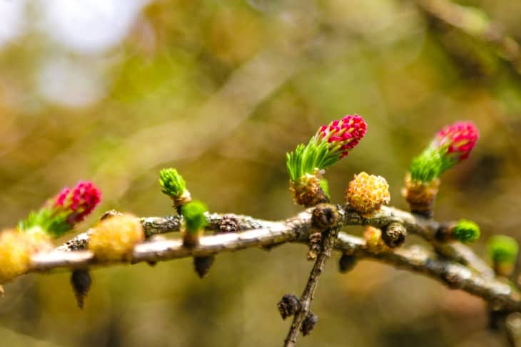Larch tree pollen