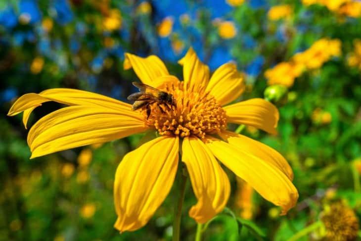 Marigold tree pollen
