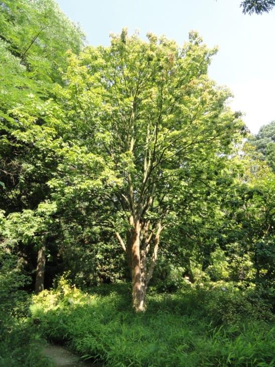 Ohio Buckeye Aesculus glabra.