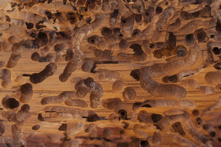 Old wood eaten by bark beetle background