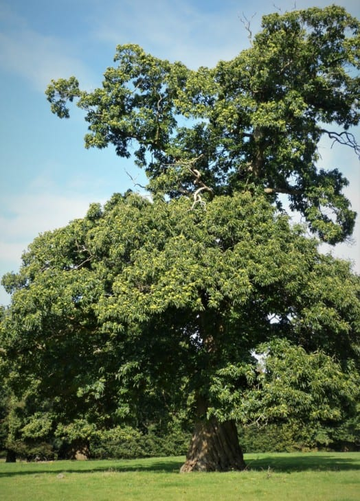 Sweet Chestnut Tree