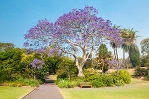 11617492 jacaranda tree