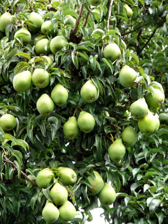 1236141 pear tree