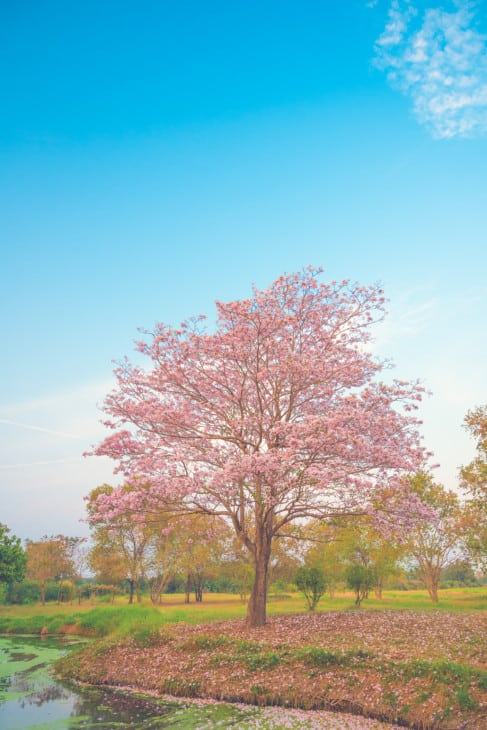 21580006 beautiful tabebuia rosea tree pink flower blooming in garden on blue sky