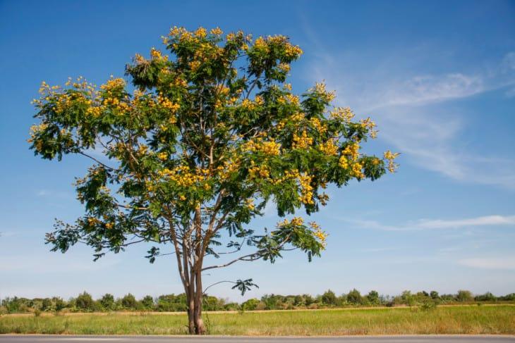 24811644 yellow flamboyant tree