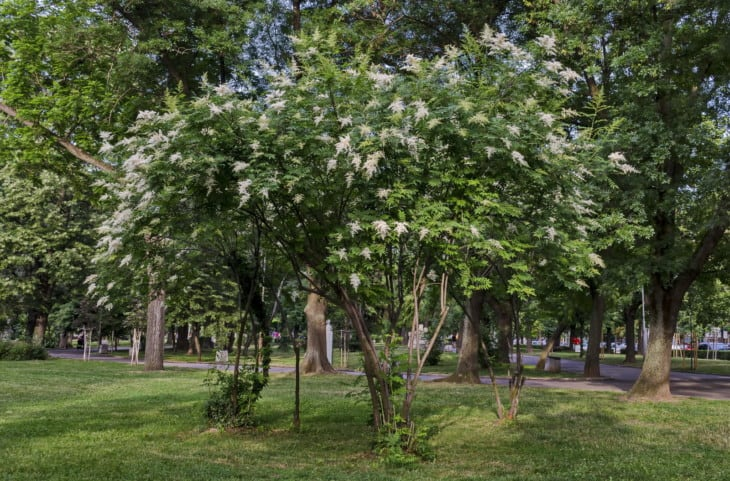 28562804 view of japanese tree lilac or syringa reticulata full of flowers in the springtime popular zaimov park district oborishte