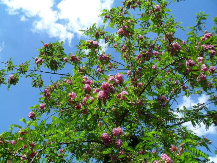 29804946 blooming purple robe locust tree