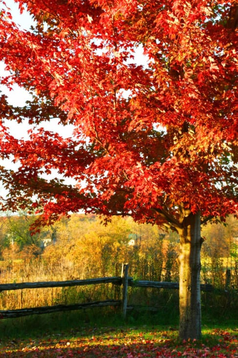 313487 beautiful red maple tree