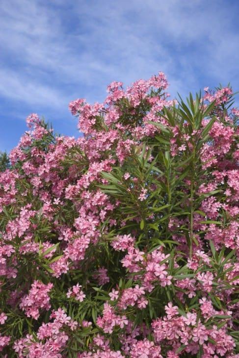 31762 flowering pink oleander bush