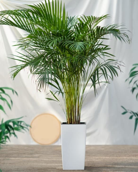 34986444 areca cane palm dypsis lutescens golden cane palm plant in white pot