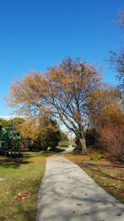 Thornless Honeylocust Tree