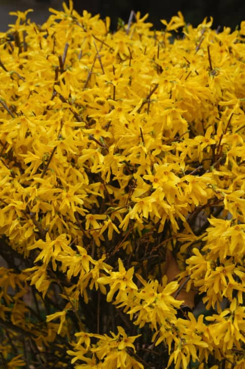 4000899 a close up of a yellow forsythia flower