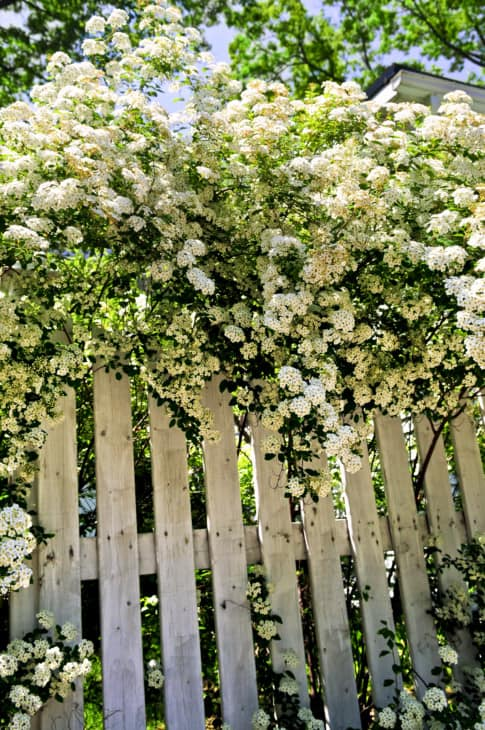 White fence with blooming bridal wreath spirea shrub