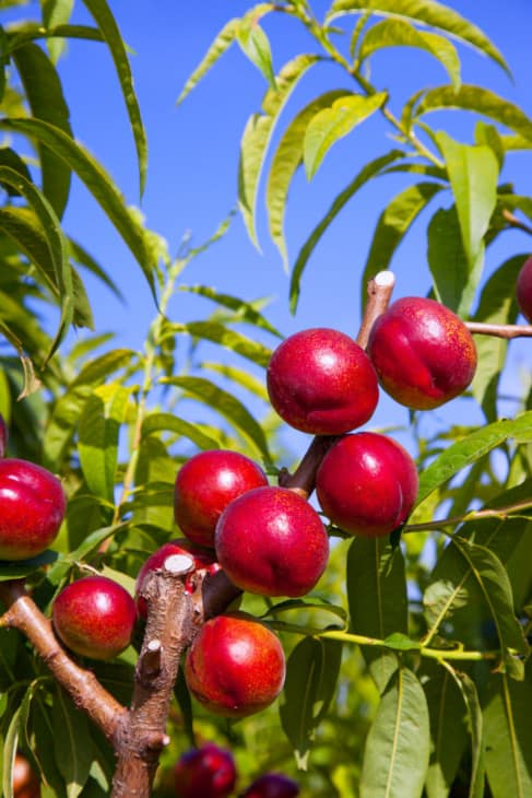 7171894 nectarine fruits on a tree with red color