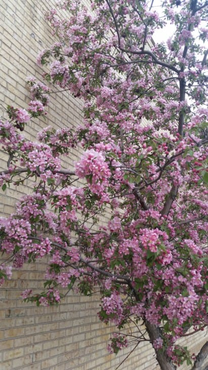 A Flowering Crabapple Tree