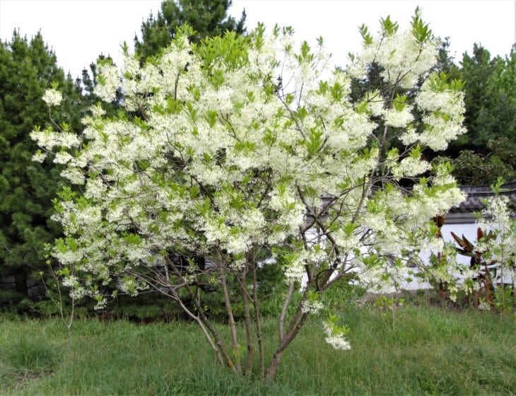 A white fringetree Chionanthus virginicus