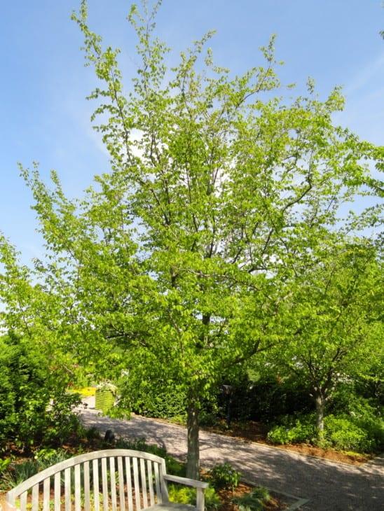 American Hornbeam Carpinus caroliniana.