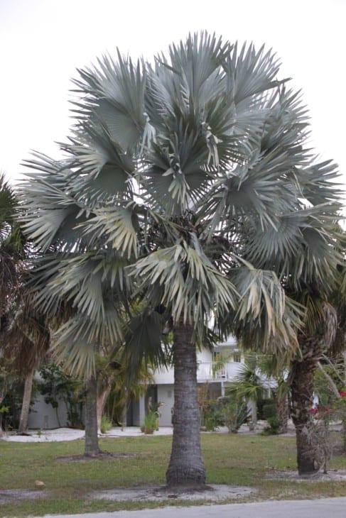 Bismarckia nobilis Bismarck palm.