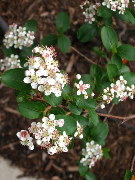 Black Chokeberry shrub in bloom.