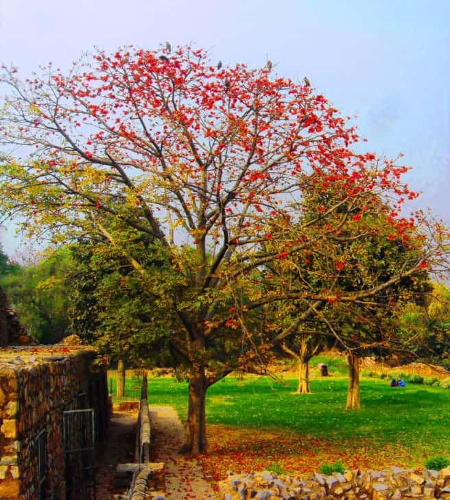 Bombax ceiba tree