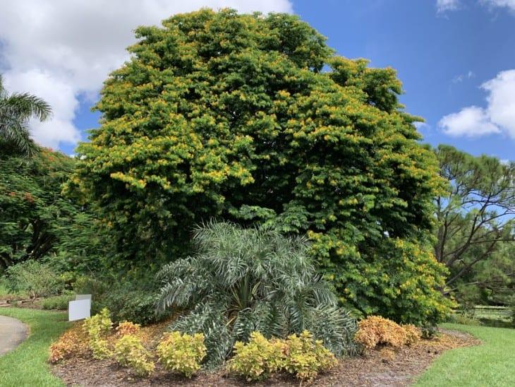 Bulnesia arborea in bloom