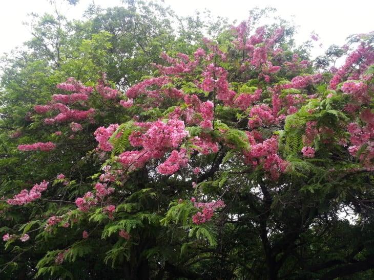 Cassia javanica.