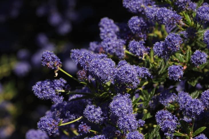 Californian Lilac - Ceanothus