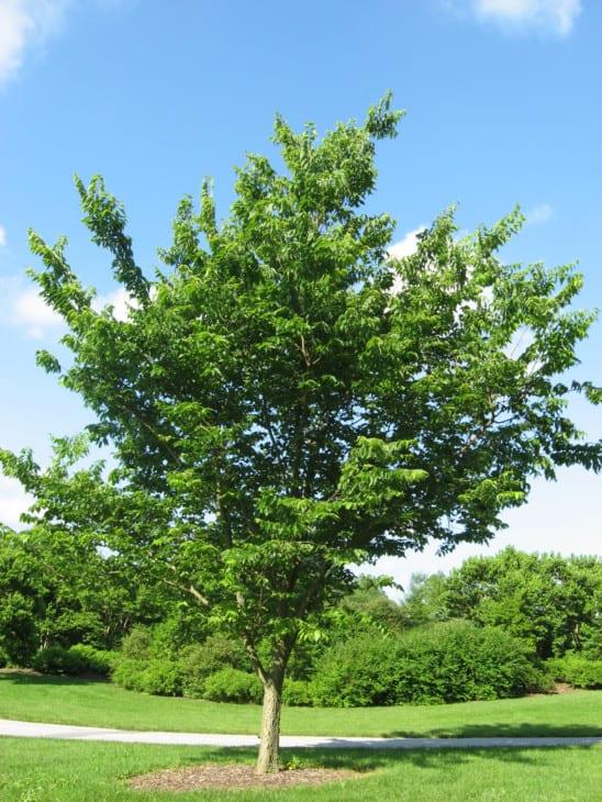 Common Hackberry celtis occidentalis