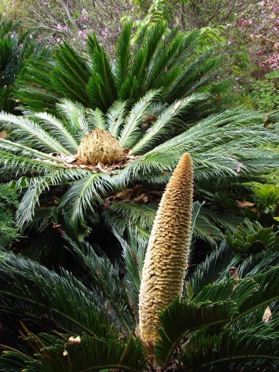Cycas revoluta Cycad sago palm Male cone and female megasporophylls