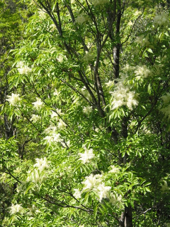 Flowering Ash Fraxinus ornus