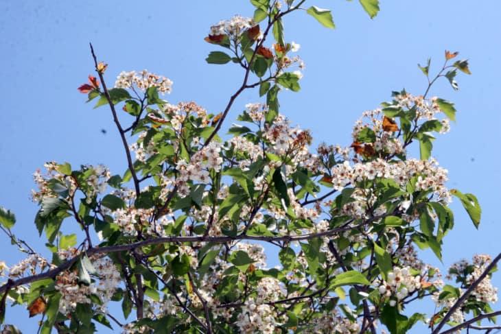 Green Southern Hawthorn Crataegus viridis