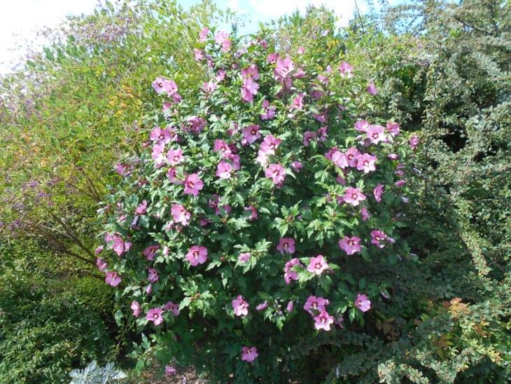 Hibiscus syriacus.
