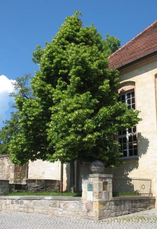 Linden tree. 1