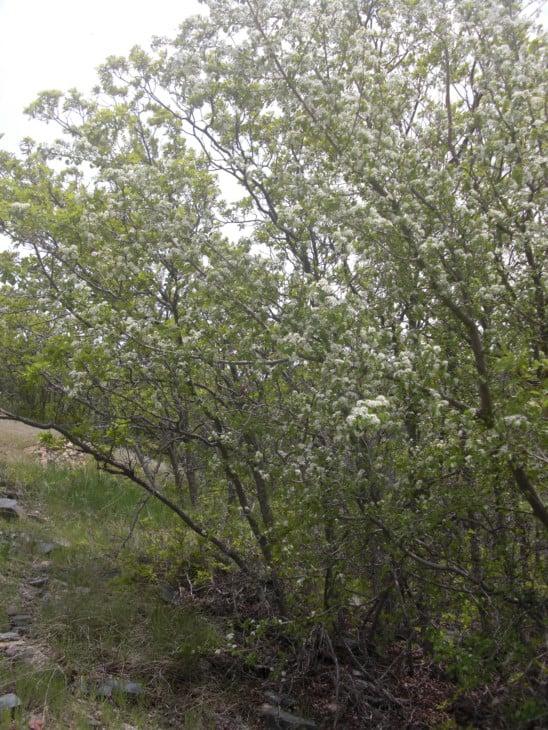 Mahaleb cherry Prunus mahaleb