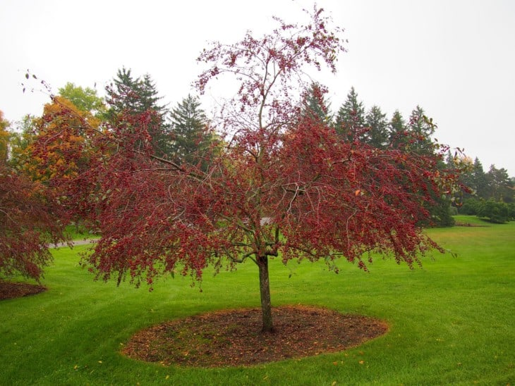 Malus Prairifire Crab Apple