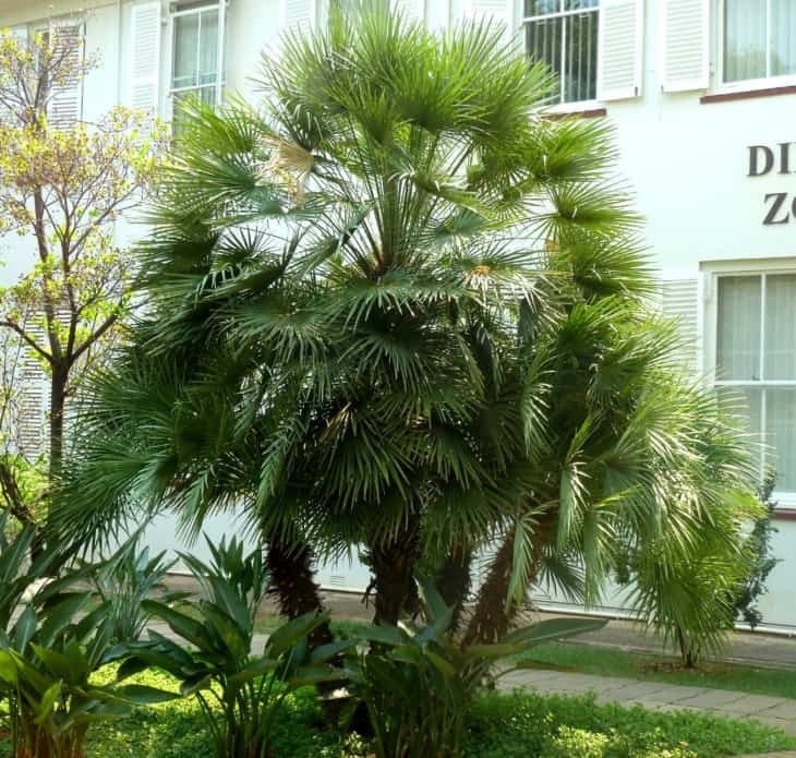 Mediterranean fan palm chamaerops humilis