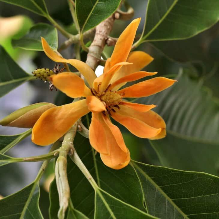 Michelia champaca flower