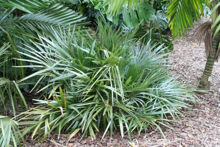 Needle Palm Tree.
