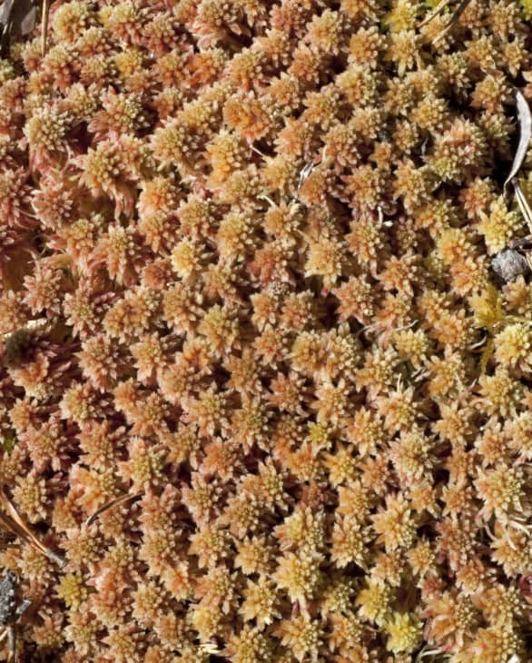 Orange and brown soft sphagnum peat moss