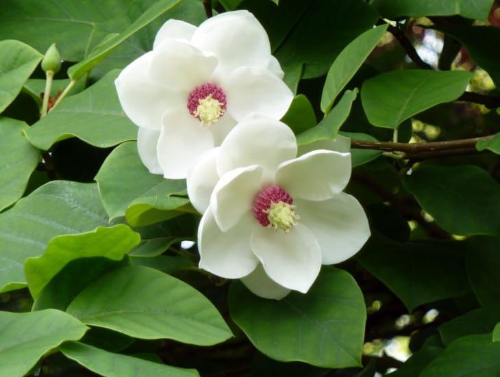 Oyama Magnolia flowers.