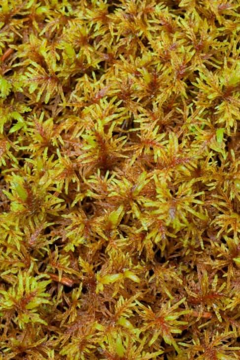 Peat Moss Sphagnum