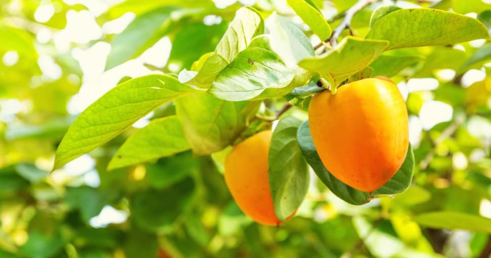 Persimmon tree with fruit