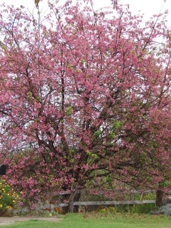 Prunus campanulata Taiwan cherry