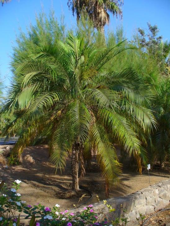 Pygmy Date Palm Tree