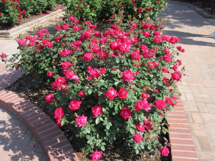 Red double knockout roses