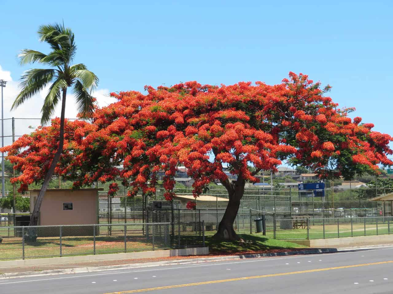 Royal Poinciana Delonix regia