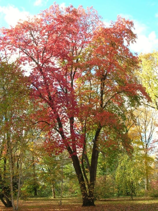 Sourwood Oxydendrum arboreum