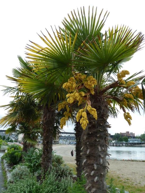 Trachycarpus fortunei windmill palm