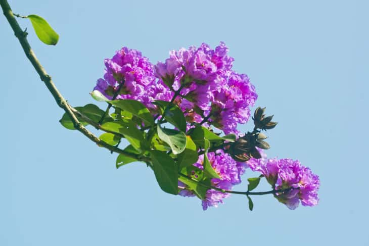 crape myrtle lagerstroemia flowers