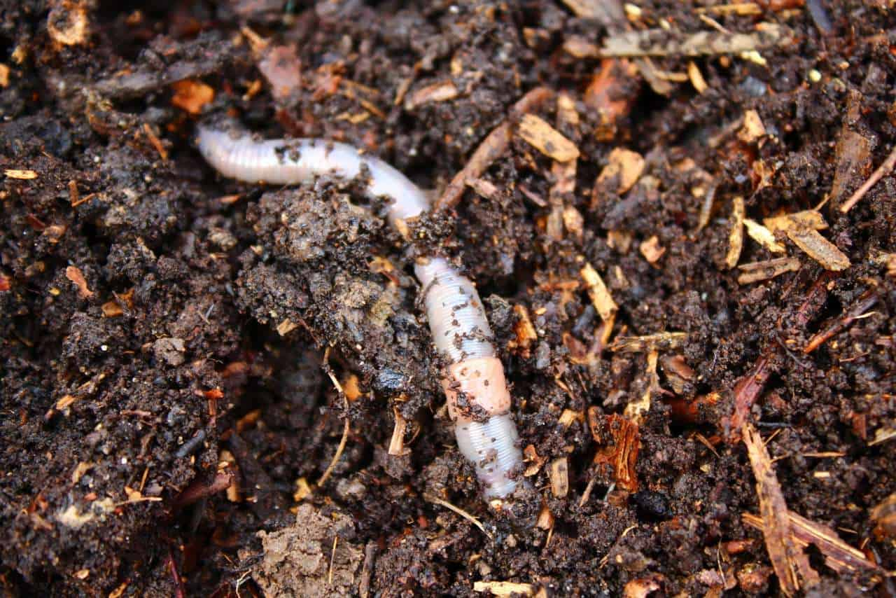 worm in compost